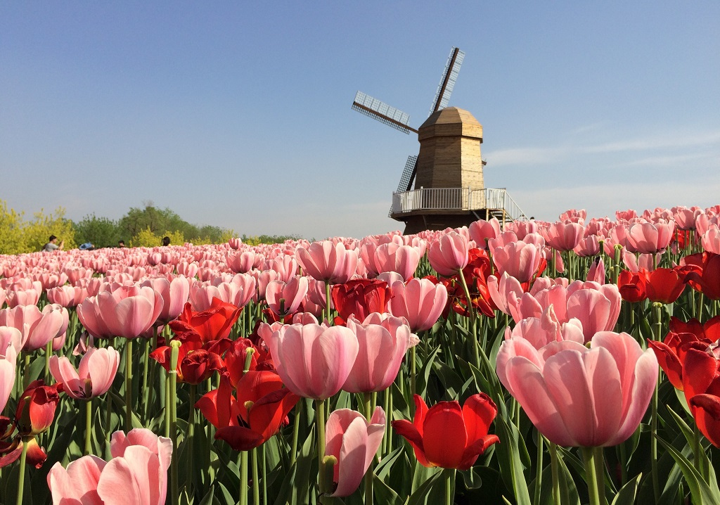 Beijing tulip fields 14